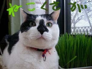 猫草.jpg